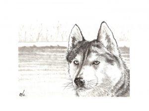 Husky - © B. Vintousky (1)